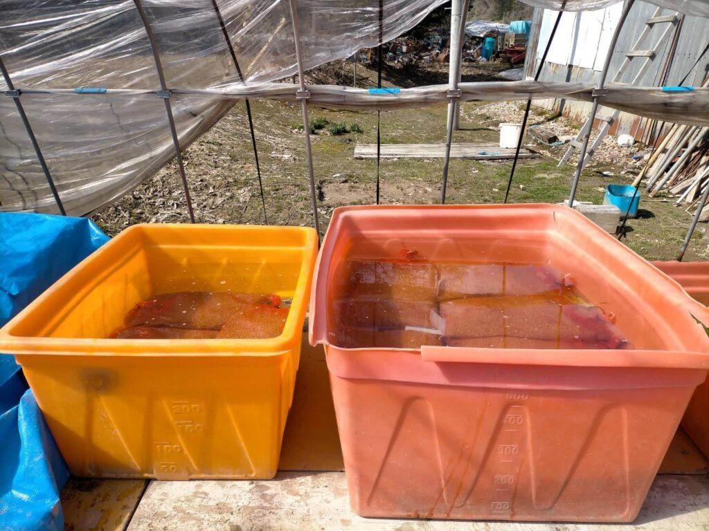 種籾を水に浸す